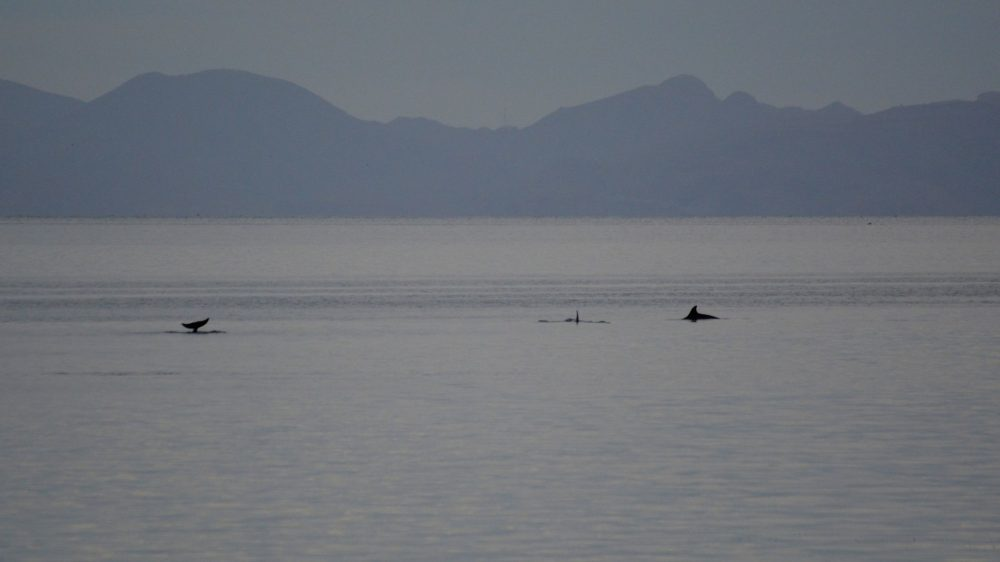 A pod of bottlenosed dolphins viewed from the shore.
