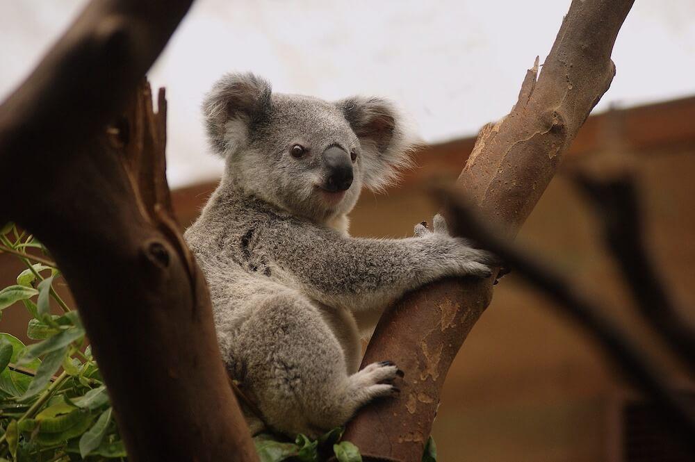 Koala Australia Green Road Trip